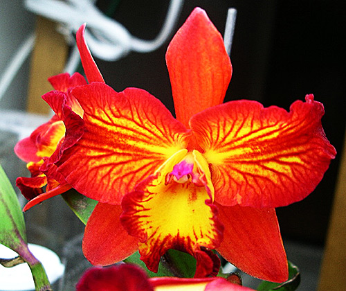 Slc (sophronitis, laelia and cattleya) Angels Fantasy