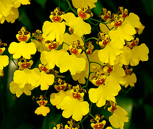 Odcdm Brennan Scott Barfield Mothers Day moreover My Home Made Insecticide For Spider Mites Non Toxic moreover Diseases additionally Phalaenopsis Orchids Will Rebloom From The Same Spike True Or False as well Dendrobium Nobile Hybrid. on oncidium orchid care