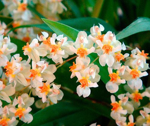 Oncidium twinkle fragrant fantasy